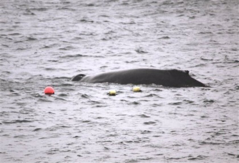 In this undated image provided by The Scottish Society for the Prevention of Cruelty to Animals, issued Thursday Sept. 9, 2010, showing a humpback whale which is caught in creel fishing buoys as it flounders in the sea off the coast of the Shetland Islands, a remote archipelago off northeast Scotland. Animal safety officials are consulting with various international animal experts to find a way of rescuing the 40-feet (12-meter) long whale, but rough wether is making the operation more difficult.(AP Photo/SPCA)