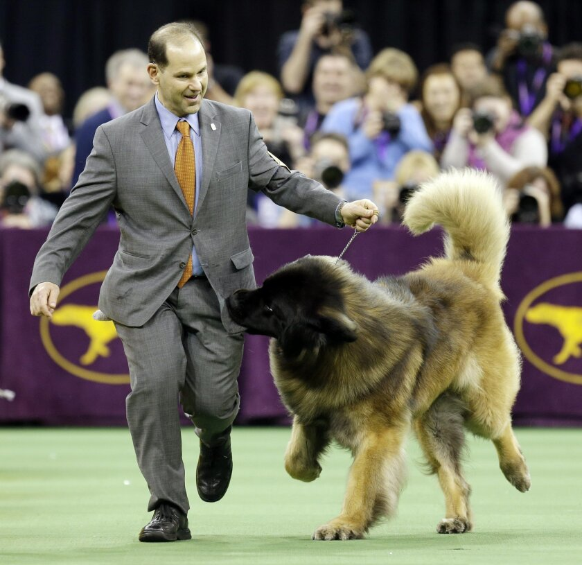 Dario, a Leonberger, tries to get at the treats in Sam Mammano's pocket during the working group competition during the 140th Westminster Kennel Club dog show, Tuesday, Feb. 16, 2016, at Madison Square Garden in New York. (AP Photo/Seth Wenig)