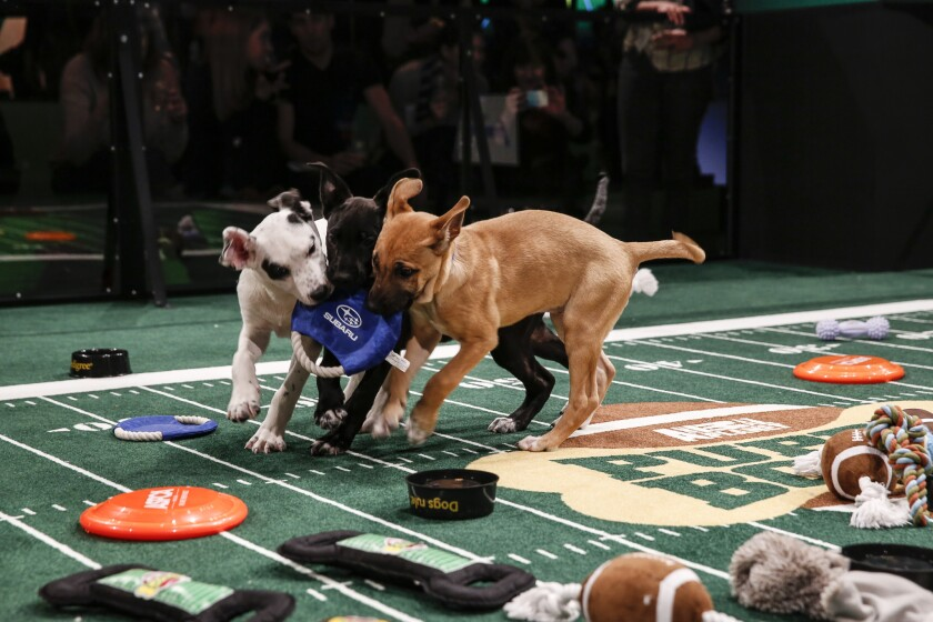 """A scene from """"Puppy Bowl X,"""" which achieved its best ratings yet on Sunday."""
