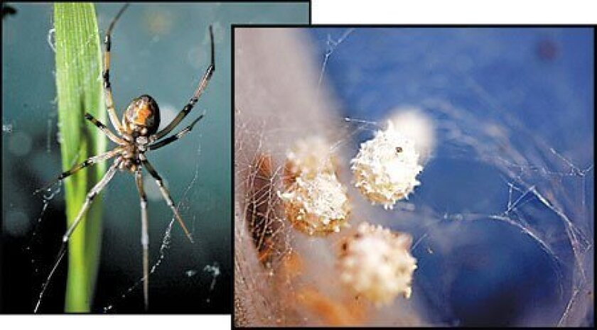 The brown widow, a tropical species that has become established in San Diego County, has an egg sac studded with tiny spikes. The black widow's egg sac is 