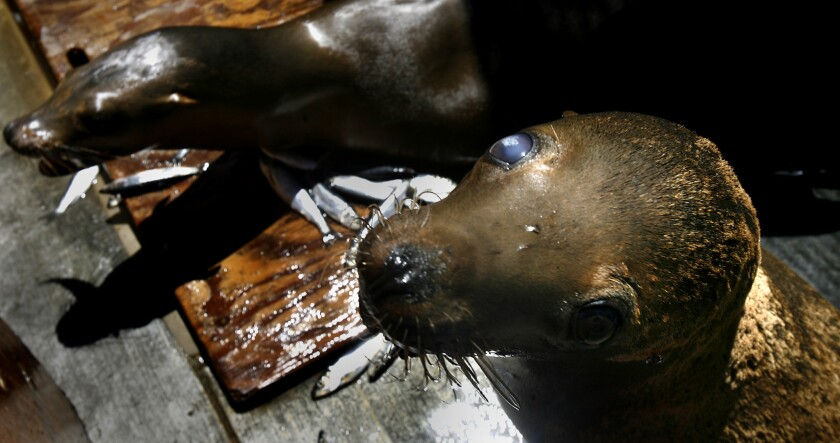 Sea lions poisoned with domoic acid sit in recovery pens at the Marine Mammal Care Center in San Pedro in 2007. A recent, huge bloom of algae off the West Coast has killed sea birds and sickened marine mammals from Central to Northern California, experts found.