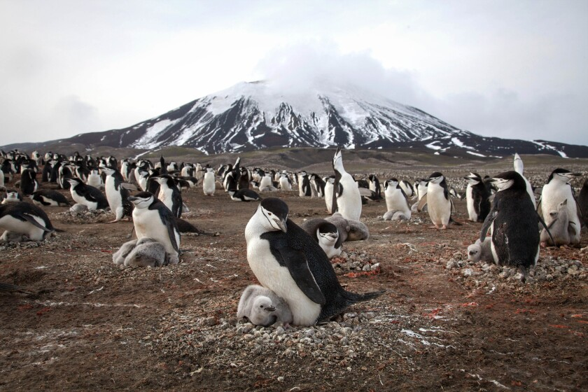Chinstrap penguins and their chicks cover the slope of Zavodovski Island, an active volcano in the Southern Ocean.