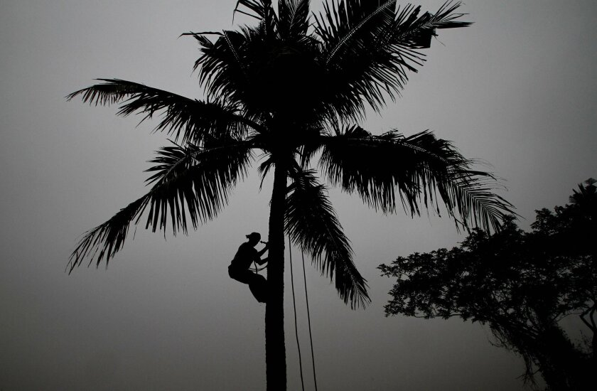 FILE- In this Jan. 5, 2016 file photo, a villager climbs down from a coconut tree after picking up fresh coconut on a cold foggy morning in the outskirts of the eastern Indian city of Bhubaneswar, India. Coconut trees are no longer considered trees in the tropical Indian state of Goa, where authorities have reclassified them in order to clear the way for unfettered felling. (AP Photo/Biswaranjan Rout)