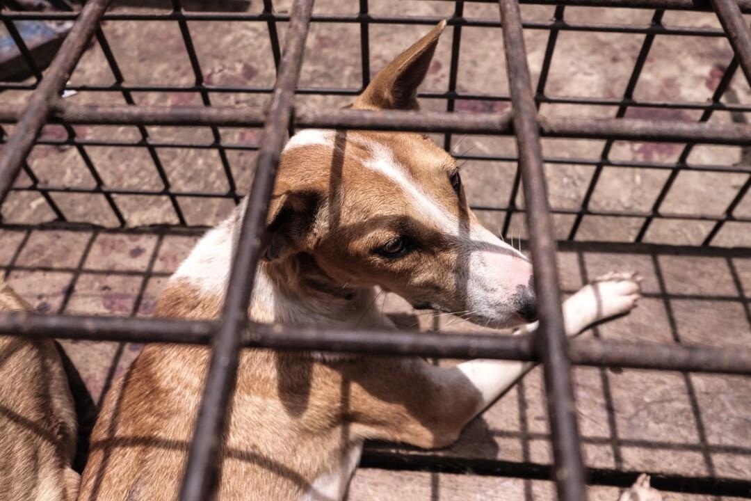 Un chien dans une cage au marché de Tomohon, Indonésie