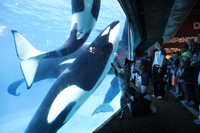 """Trainer Danica Waitley works with Queensland Heeler, Kaja, from the """"Pets Rule"""" exhibit earlier this year as she comes face to face with killer whales. SeaWorld San Diego periodically features its popular """"Inside Look"""" programming where it takes visitors behind the scenes with the various animals."""