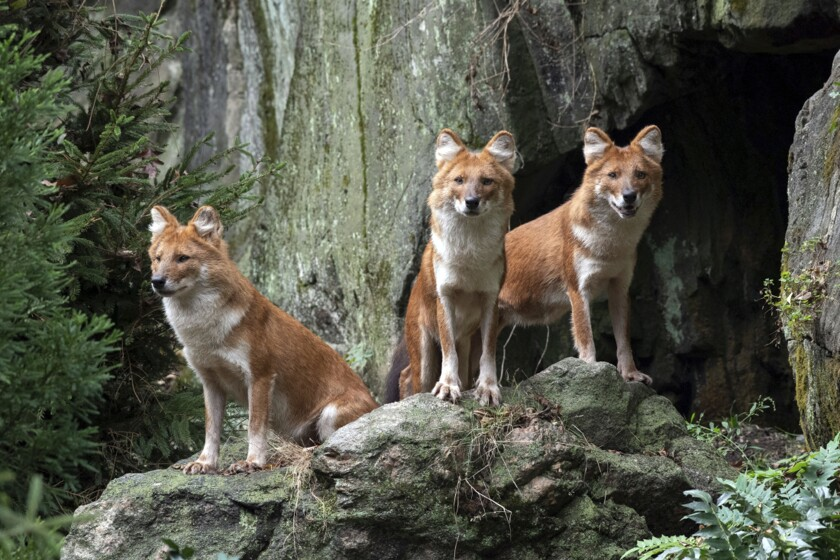 In this recent photo provided by the Wildlife Conservation Society, three male dhole, a species of Asiatic wild dog, that have debuted at the Bronx Zoo, stand in their new habitat adjacent at the zoo in the Bronx borough of New York. The trio, named Roan, Apollo, and Kito, siblings that were born at the San Diego Zoo Safari Park in 2016, are native to portions of southern and central Asia. (Julie Larsen Maher/Wildlife Conservation Society via AP)