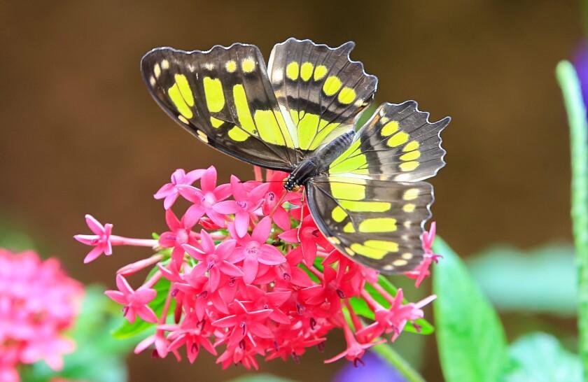 An Green Malachite butterfly.