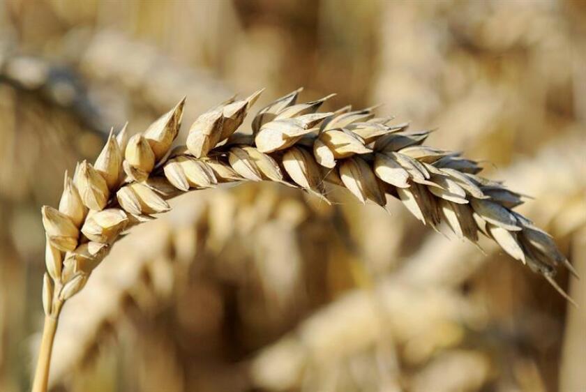 Un grupo de más de 200 científicos ha descrito con exactitud el genoma del trigo, un trabajo que facilitará la adaptación de las cosechas futuras a los desafíos climáticos de la Tierra, según un estudio publicado hoy por la revista especializada Science. EFE/ EPA/Archivo