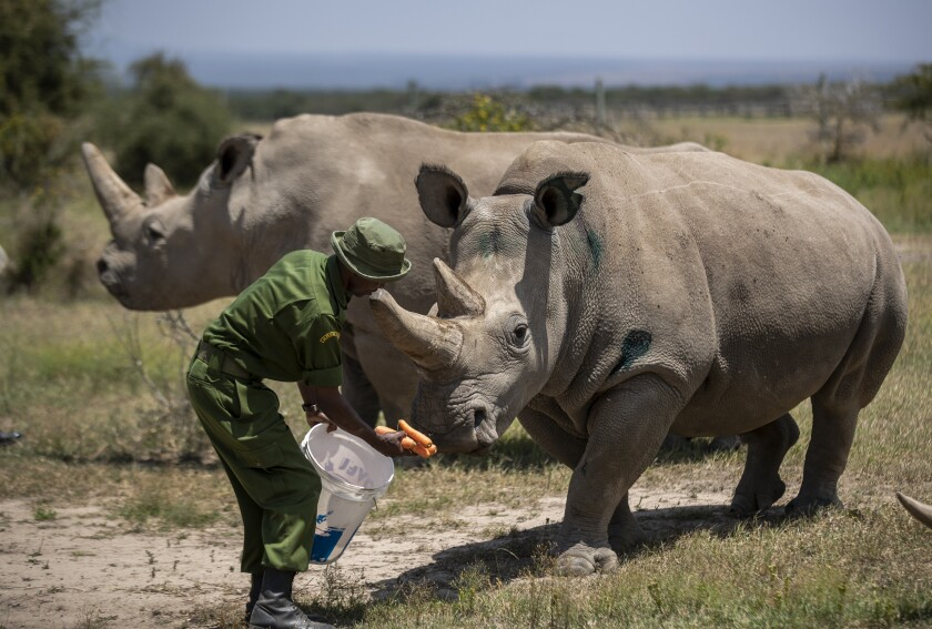 A ranger at Kenya's Ol Pejeta Conservancy feeds Fatu. She and Najin are the last two northern white rhinos on the planet