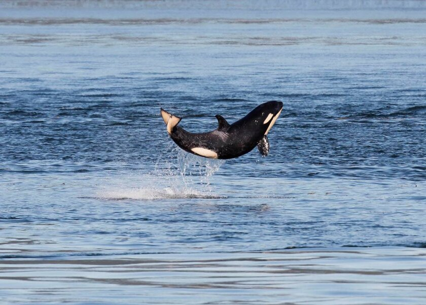 In this July 5, 2015 photo provided by the Pacific Whale Watch Association (PWWA), a baby orca leaps out of the waters of Haro Strait between islands in British Columbia and Washington. The annual July tally of endangered orcas is complete, and researchers have counted 81 whales, including four babies born since last winter. (Clint Rivers/Eagle Wing Tours/PWWA via AP)
