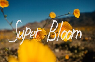 Experience the rare beauty of Death Valley's 'super bloom'