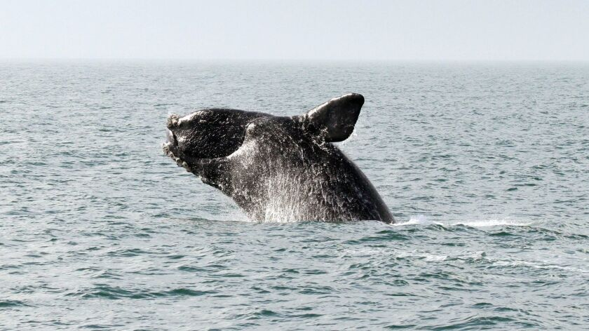 North Atlantic right whales are among animals that could be harassed or killed by the jet-engine-like sound blasts. There are 400 right whales in the wild.