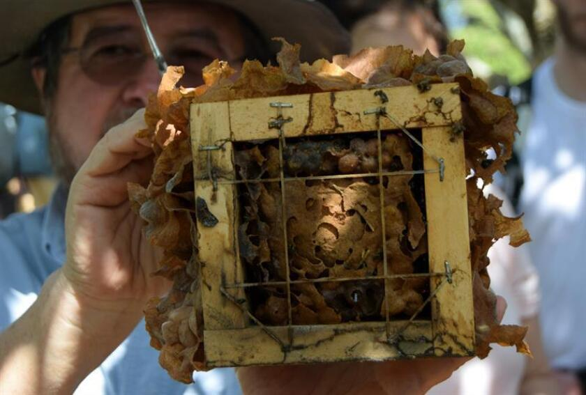 Photograph taken on March 12, 2019, where German Perilla, a scientist at George Mason University, appears while working with a honeycomb on a bee farm in Socorro, Colombia. EPA-EFE / Santiago Jose Sanchez