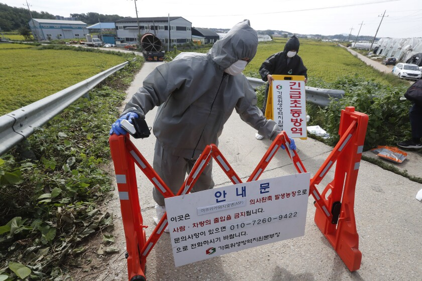 "Quarantine officials wearing protective gears place barricades as a precaution against African swine fever at a pig farm in Paju, South Korea, Tuesday, Sept. 17, 2019. South Korea is culling thousands of pigs after confirming African swine fever at a farm near its border with North Korea, which had an outbreak in May. The notice reads: ""Under quarantine."" (AP Photo/Ahn Young-joon)"
