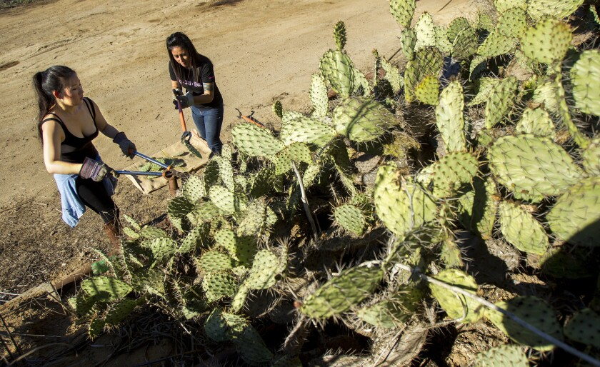 Kathleen Lee, left, and Monica Gadberry participate in a special seed collection event put on by Newport Banning Land Trust to cut prickly pear cactus pads for use on other restoration projects.