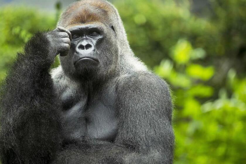 La deforestación para la explotación de recursos naturales y la caza ilegal son algunos de los factores que amenazan a los primates no humanos y que pueden causar su extinción en pocas décadas, según un estudio conocido hoy. EFE/ARCHIVO
