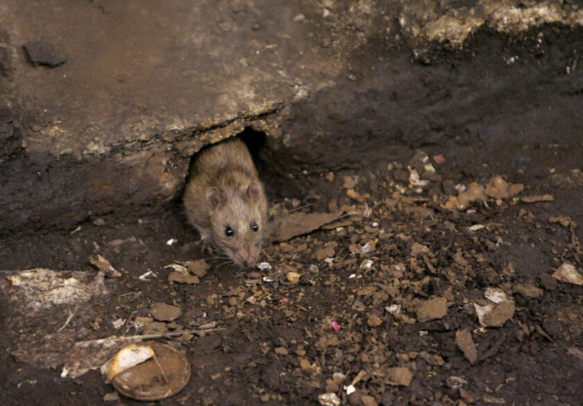 A rat comes briefly out of its hole at a Brooklyn subway stop.