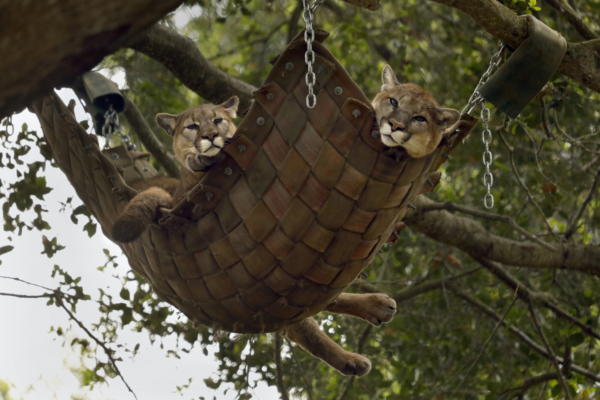 Two mountain lions hang together in a hammock at the Oakland Zoo