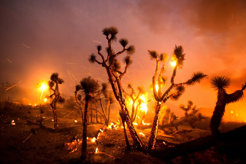 El viento azota las brasas de los árboles de Josué en Juniper Hills, California, el viernes 18 de septiembre de 2020.