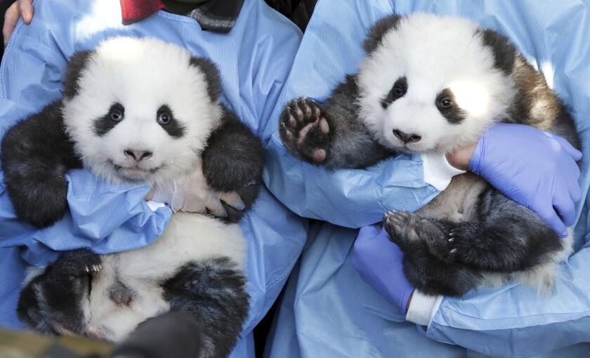 APTOPIX Germany Zoo Pandas