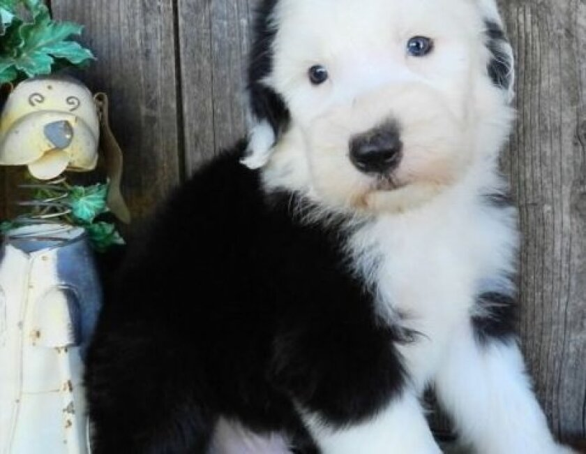 Puppy lovers targeted in ebay classifieds scam - The San