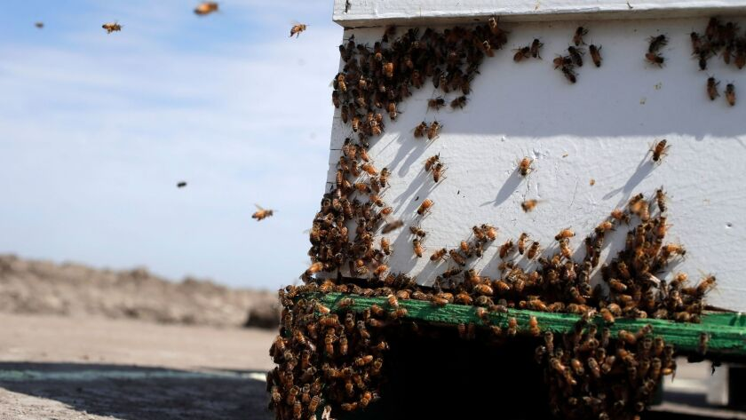 Bees hover around a hive on a field to pollinate crops in Los Banos, Calif., in 2014. A Montana beekeeper says thieves got away with 488 beehives he had taken to California to pollinate almond trees.