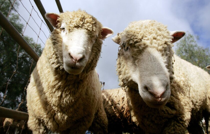 Two sheep at Action K9 Sports in Escondido during its second annual wool festival.