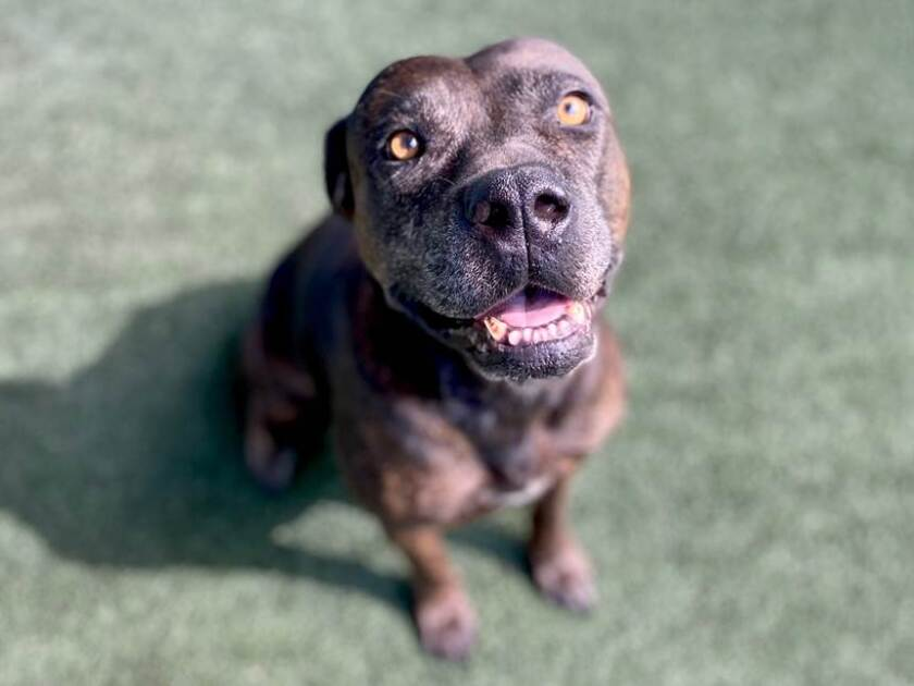 Delta, one of many dogs who came from Louisiana ahead of the latest two hurricanes, is available for adoption.