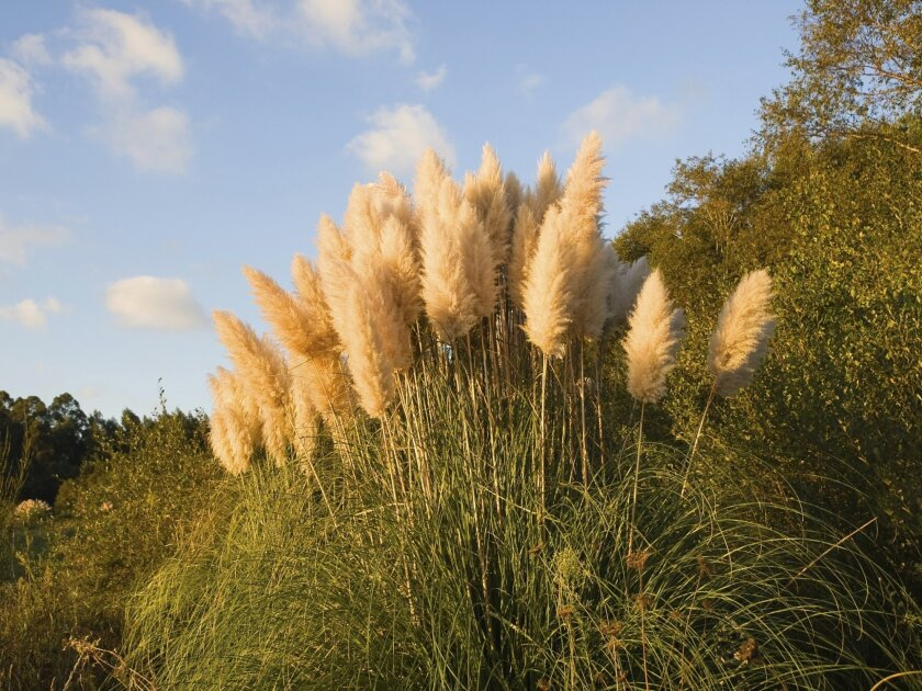 Pampas grass is invasive, pushing out native plants as it spreads.
