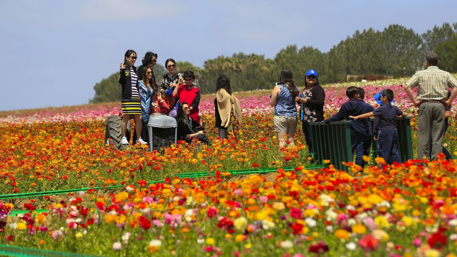 5 Things You Need To Know About The Flower Fields In Carlsbad
