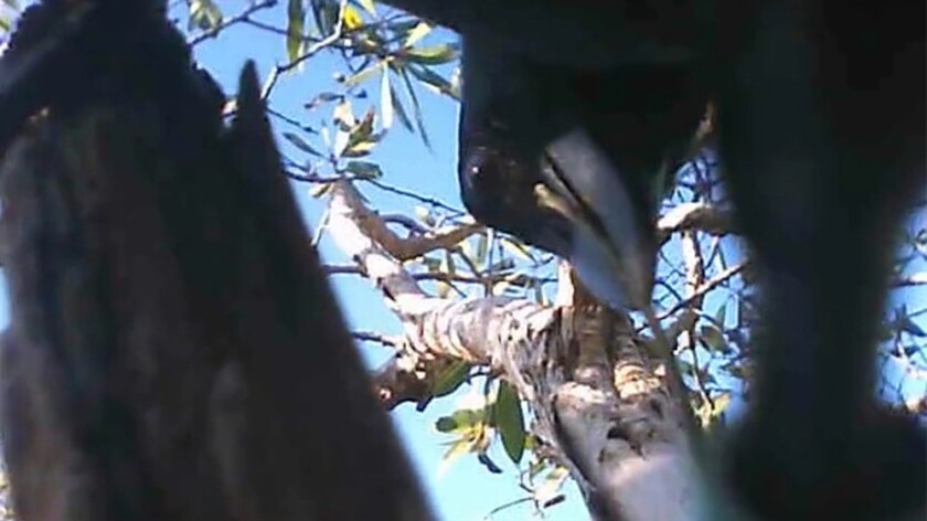 New Caledonian crows film themselves using tools