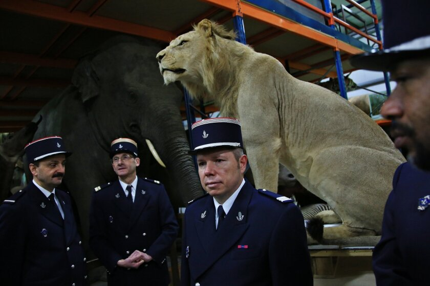 Customs agents stand in front of a stuffed lion, at Paris' natural history museum, Tuesday, Feb. 16, 2016. Stuffed leopards, lions and a giant crocodile head discovered in a private home in eastern France were turned over to Paris' natural history museum Tuesday after what customs officials are cal