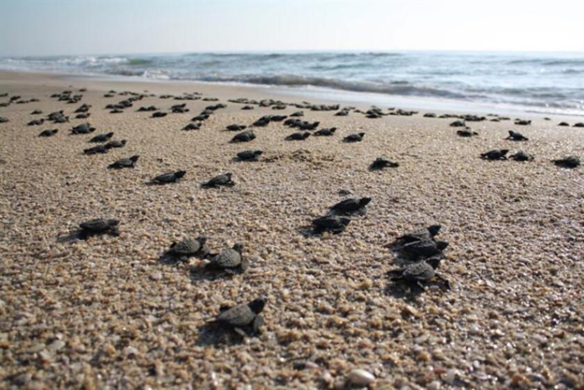 Vecinos del noroccidental estado de Baja California Sur denunciaron hoy a Efe que la arena de la popular playa de Punta Arena es extraída de manera irregular con fines comerciales, lo que provoca un daño ambiental que afecta a las tortugas marinas. EFE/Archivo