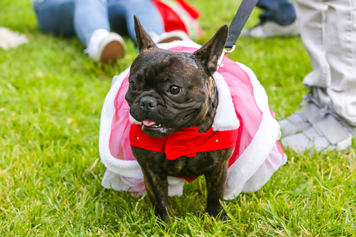 Pets decked out in their best holiday gear marched down the streets of the Gaslamp at the Gaslamp Pet Parade on Sunday, Dec. 10, 2017.