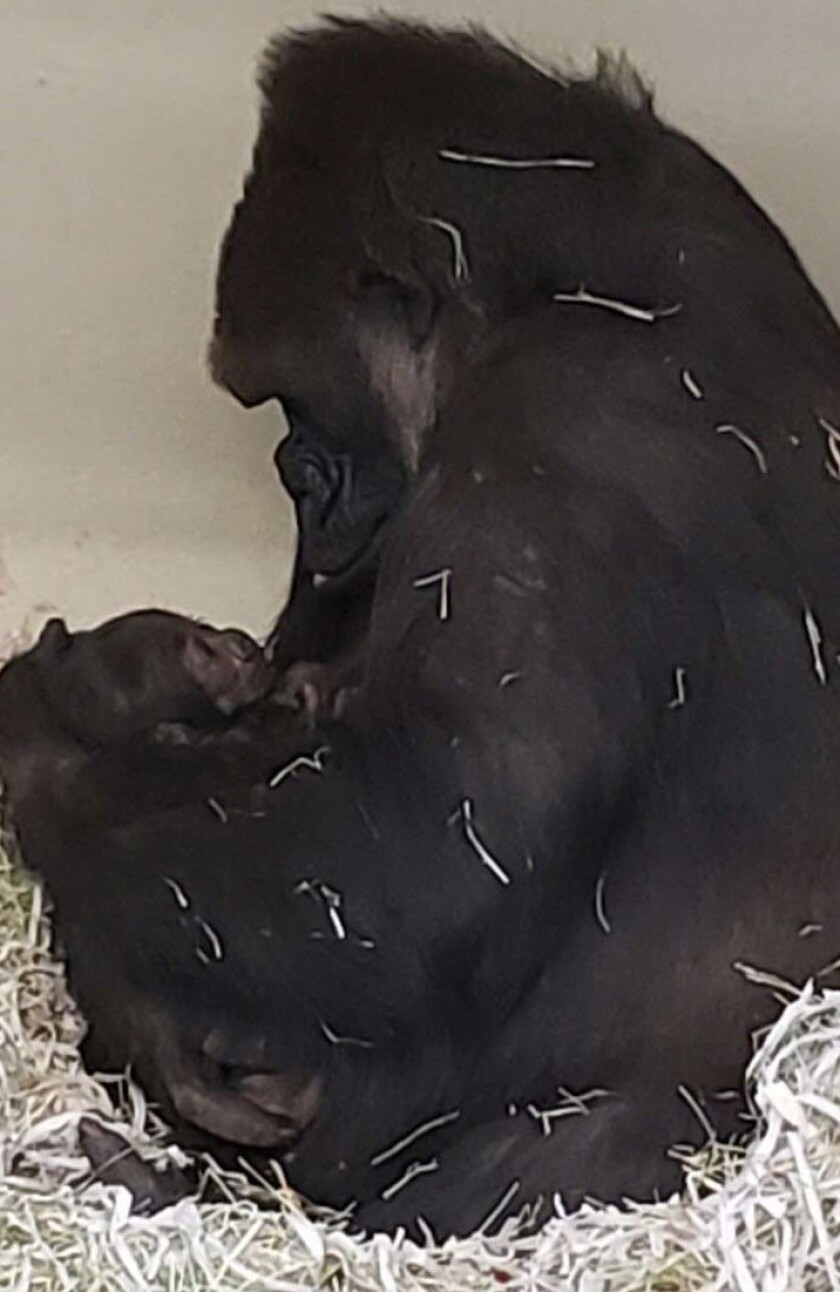A baby gorilla is born at L.A. Zoo, the first in over 20 years