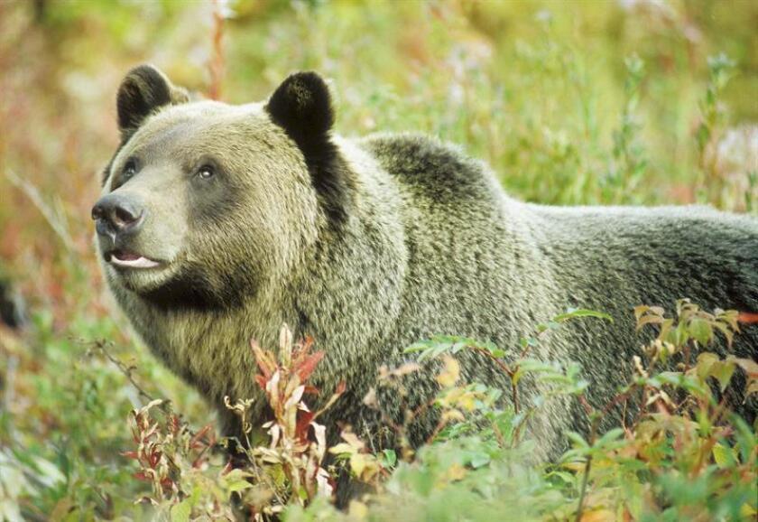 Foto cedida de un oso grizzly (Ursus Arctos Horribilis). EFE/KHMR FOTO CEDIDA
