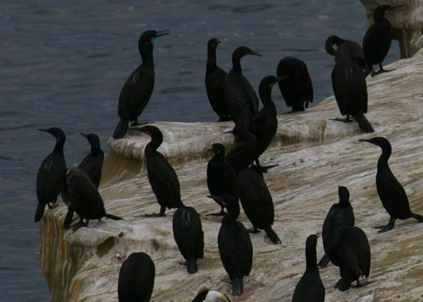A group of cormorants on the cliffs above La Jolla Cove.