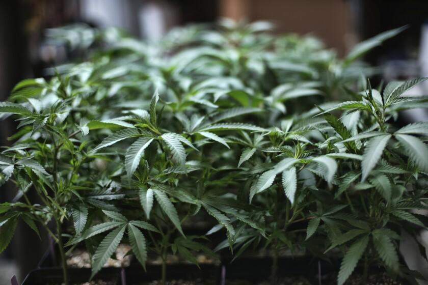 Foto tomada el 15 de agosto del 2019 de una planta de marihuana en Gardena, California.