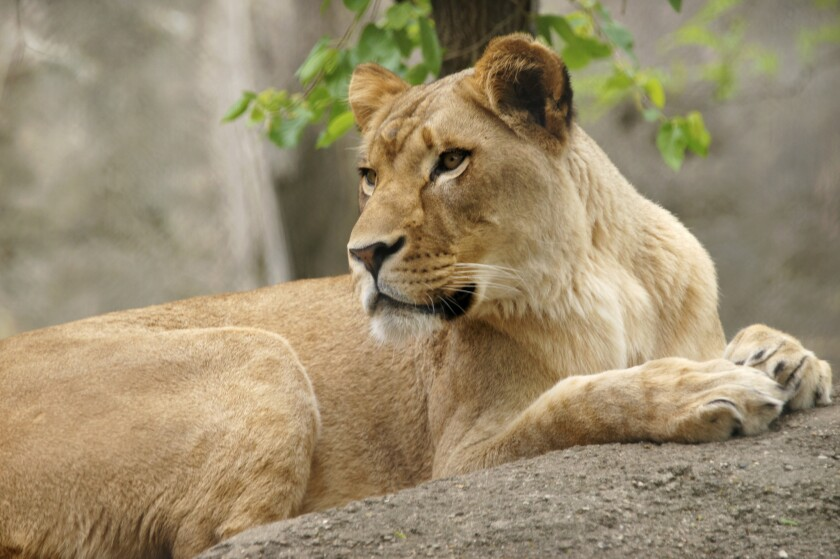 This undated photo provided by the Indianapolis Zoo shows lioness, Zuri. The zoo said Friday that Zuri attacked and killed male lion, Nyack, in their outdoor yard on Monday before the zoo opened for the day.