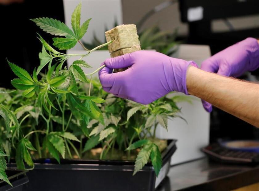 Un empleado manipula una planta de marihuana en un dispensario de cannabis. EFE/Archivo