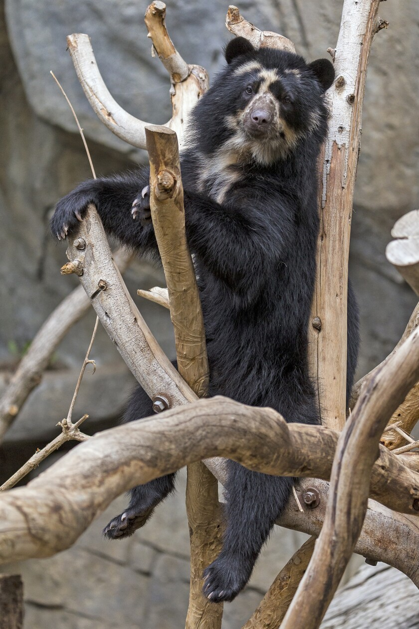 Alba, an Andean bear, gave birth to a cub at the San Diego Zoo last week.