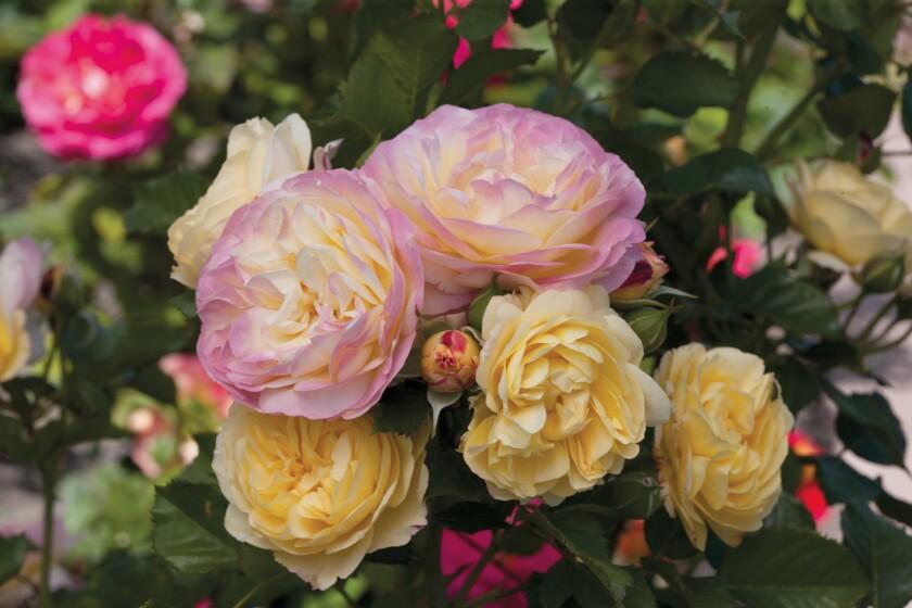 "Tom Carruth's ""Huntington's 100th"" rose"