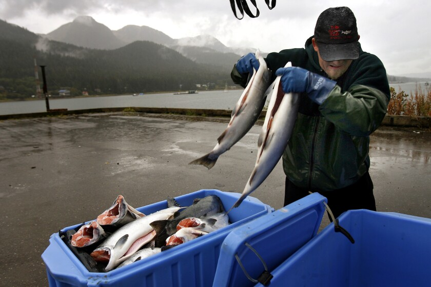 Kirk Hardcastle, of Taku River Reds, packs fresh caught wild Alaska salmon on ice after offloading his catch from the fishing vessel Heather Anne in Juneau, Alaska.