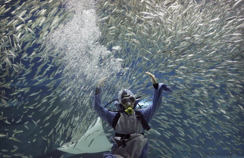 In this July 29, 2016 photo, a diver performs with sardines as part of summer events at the Coex Aquarium in Seoul, South Korea. The aquarium features 40,000 sea creatures from over 600 different species. (AP Photo/Ahn Young-joon)