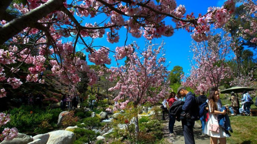 SAN DIEGO, CA, USA -- MARCH 6, 2016: | Timing was perfect for the11th Annual Cherry Blossom Festiva