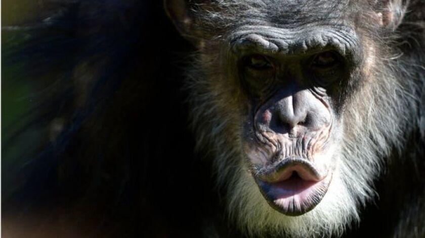 Las lecciones de los chimpances