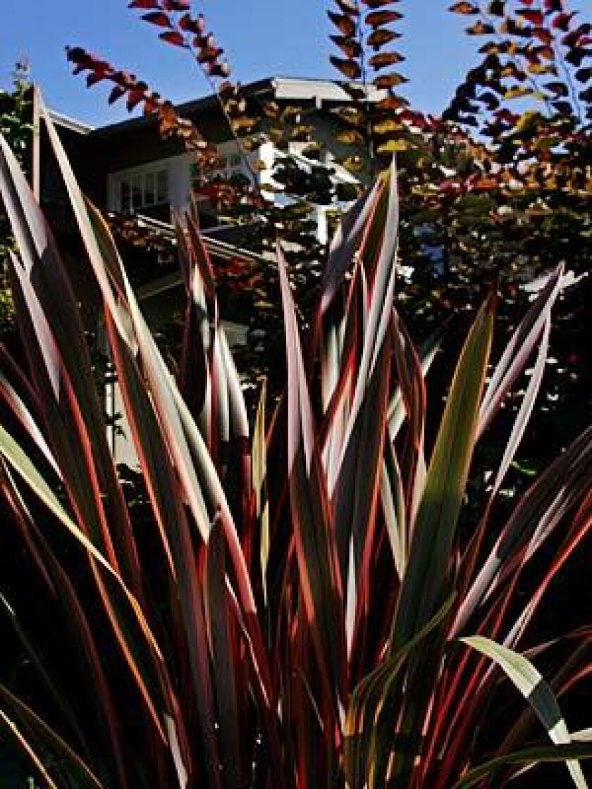 Cool Spiky Phormium Also Called New Zealand Flax Los Angeles Times