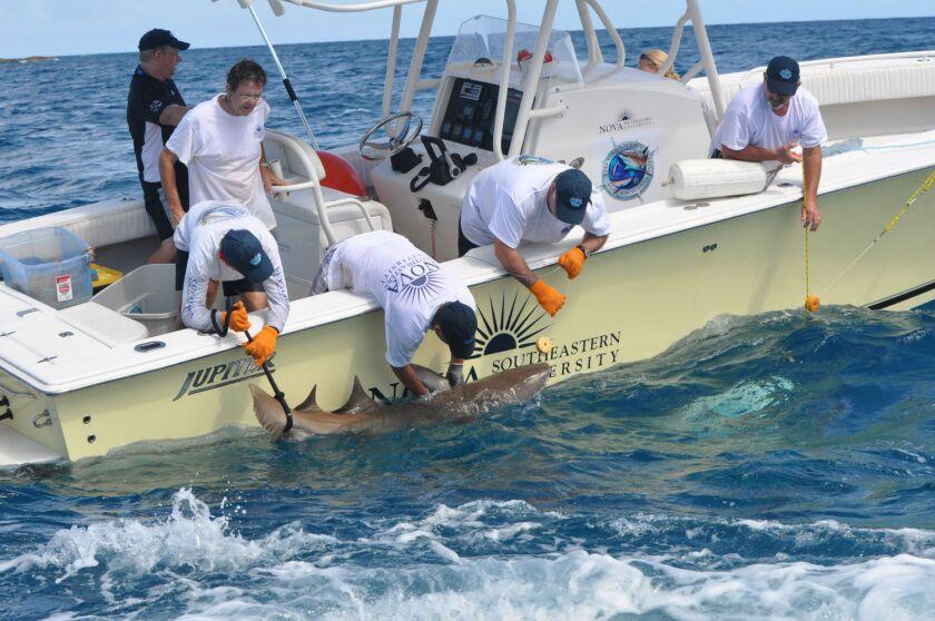 Shark-tagging in Florida