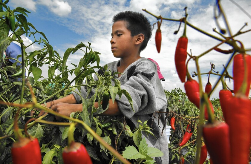 Child farmworker in Mexico