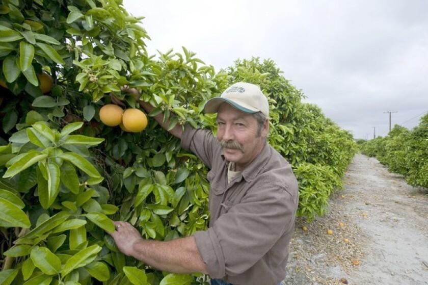 Ken Kelley with star ruby grapefruit on Flying Dragon rootstock at Bautista Creek Ranches, Hemet.